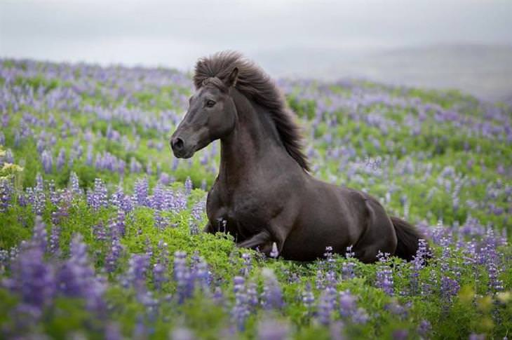 תמונות של סוסים על רקע נופי איסלנד: סוס בשדה פורח