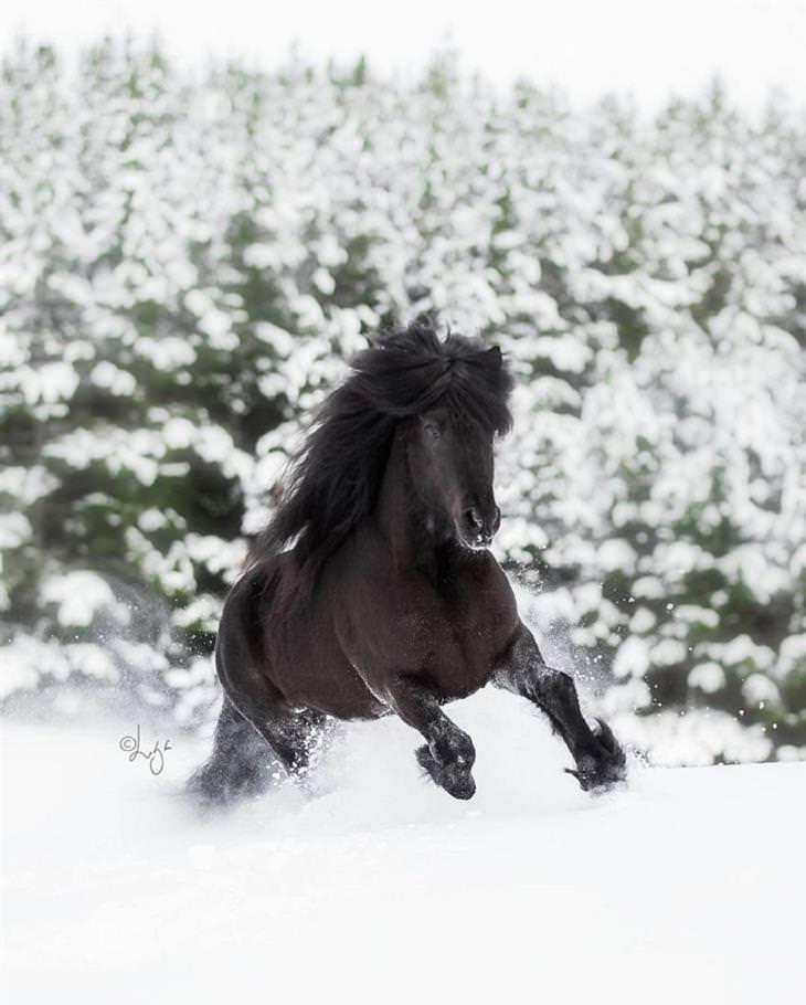 תמונות של סוסים על רקע נופי איסלנד: סוס שחור דוהר בשלג