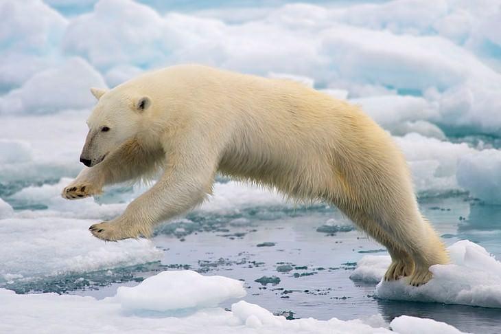 עובדות על דובי קוטב: דוב קוטב באמצע קפיצה