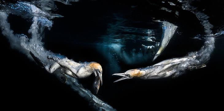 צילום תת ימי: ציפורים צוללות לתוך המים ותופסות דגים