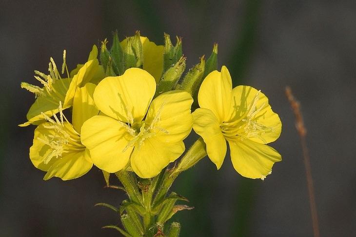 פרחים לגינת לילה: צמח נר הלילה