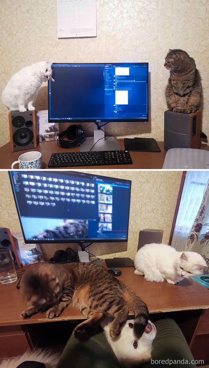 חיות מחמד חמודות בעבודה מהבית: חיות מחמד מול מחשב עבודה