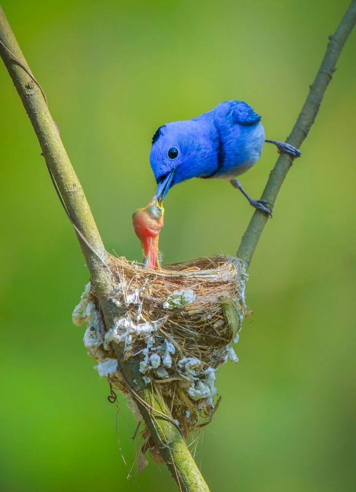 תמונות אביב יפות: ציפור מאכילה גוזל בקן