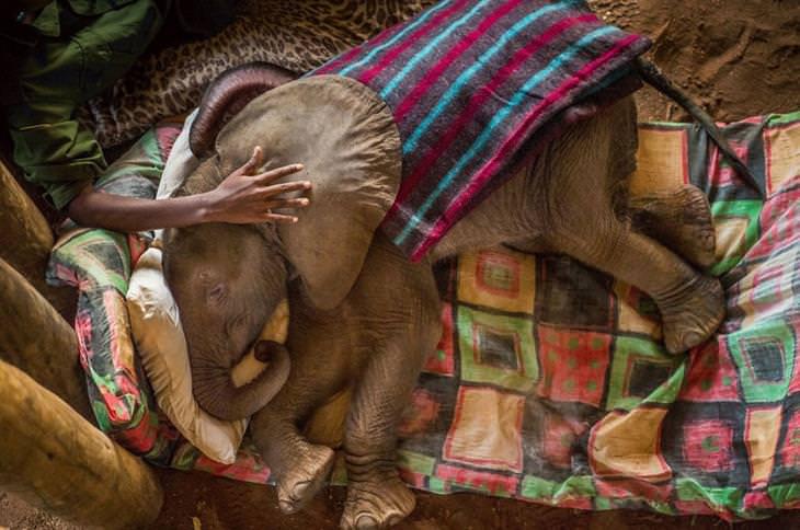 תמונות טבע מדהימות: פיל תינוק שוכב במיטה