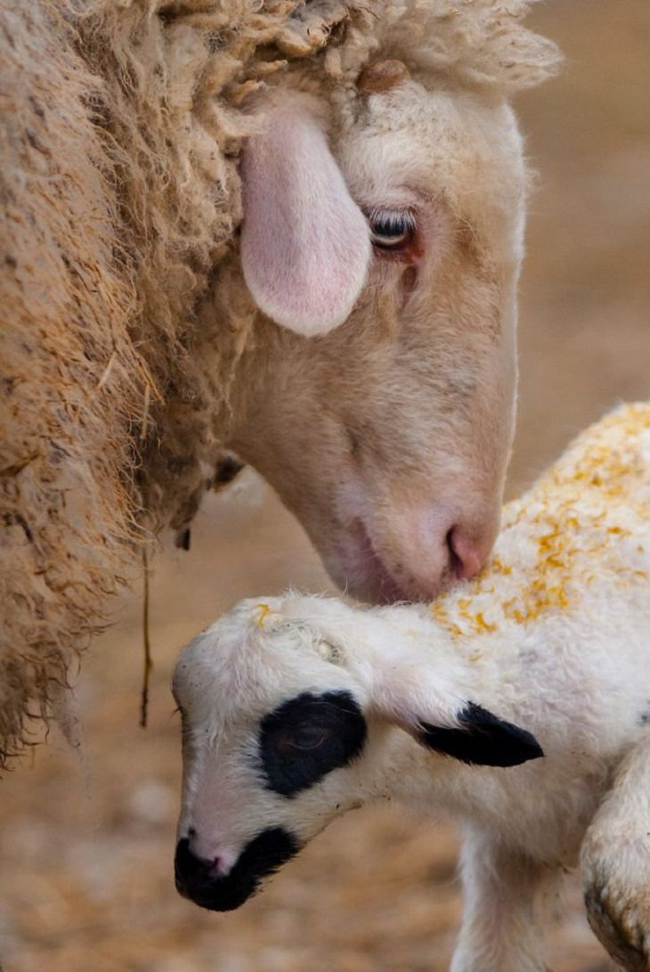 אימהות וגוריהן בטבע: אימא כבשה וטלה