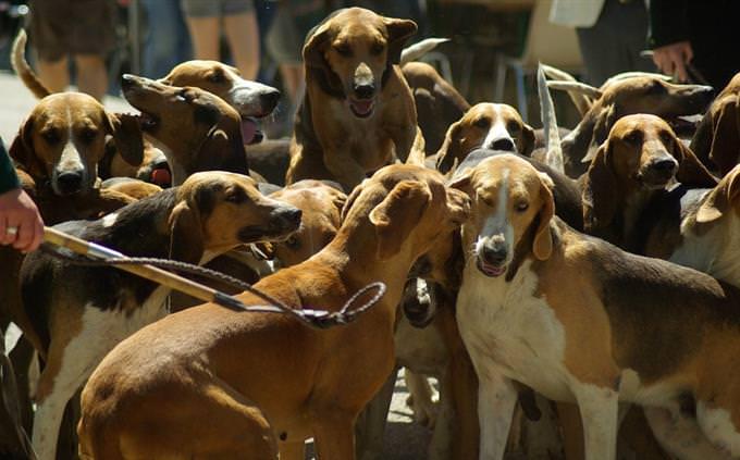 טריוויה על כלבים: להקת כלבים