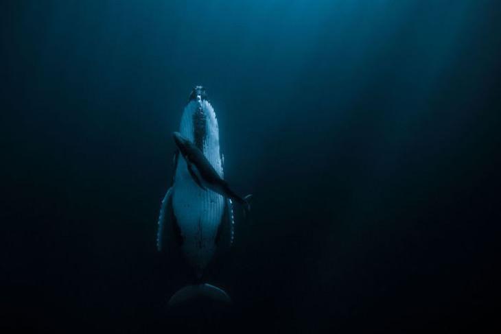 תמונות מתחרות צילום HIPA: לווייתן מבוגר וצעיר
