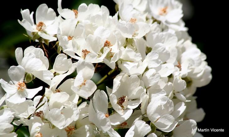 ורדים יפים ומיוחדים: רוזה קימוסה - Rosa cymosa