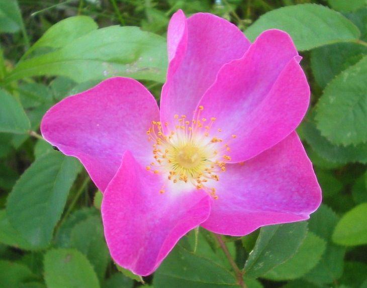 ורדים יפים ומיוחדים: ורד צרפתי - Rosa gallica