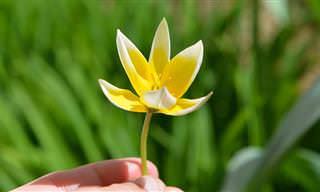 תרגומים לשירים: יד מחזיקה פרח צהוב