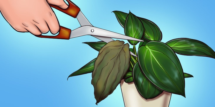 סימנים למחלות אצל צמחים: יד גוזרת עלה חום מעציץ