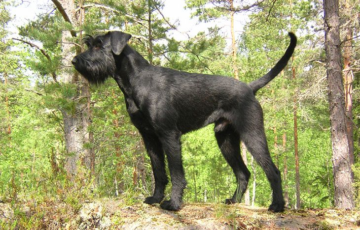 כלבי שמירה מומלצים: שנאוצר ענק