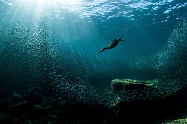 תמונות ציפורים: קורמורן מצויץ במים