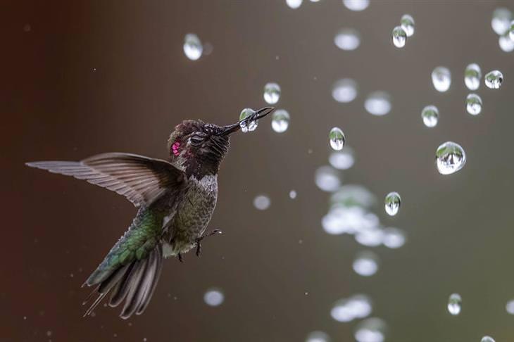 תמונות ציפורים: יונק דבש עם טיפות מים סביבו