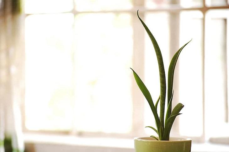 צמחים לגידול ביתי לפי גודל הבית: סנסיווריה