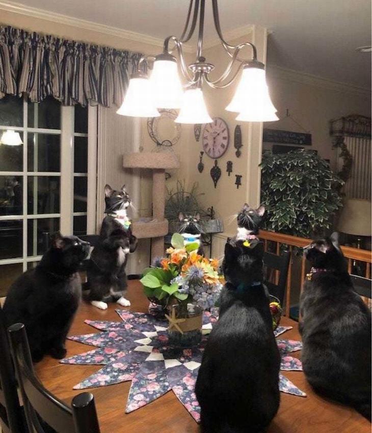 אוסף תמונות מצחיקות של חתולים: חתולים עומדים על שולחן ובוהים במנורה