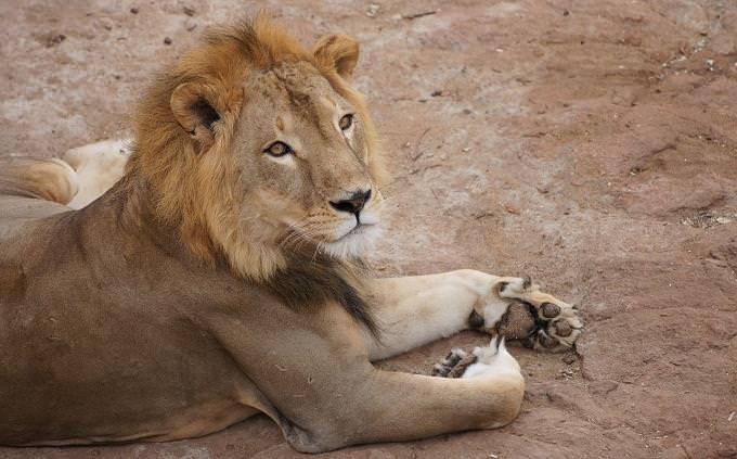 טריווית זיהוי חיות: אריה