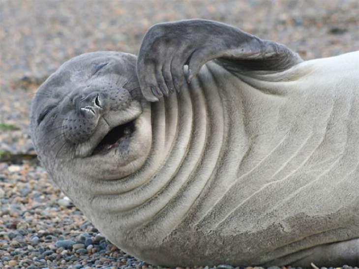 כלבי ים צוחקים