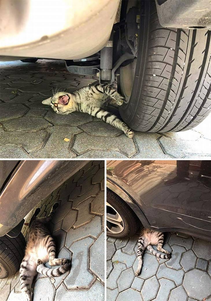 חתולים מוגזמים: חתול צועק שמשחק אותה תקוע מתחת לגלגל