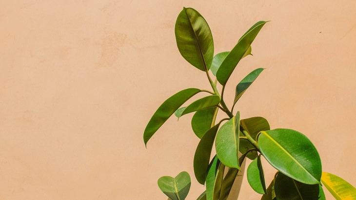 צמחי בית עמידים: פיקוס הגומי