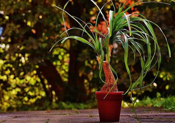 צמחי בית עמידים: נולינה מופשלת