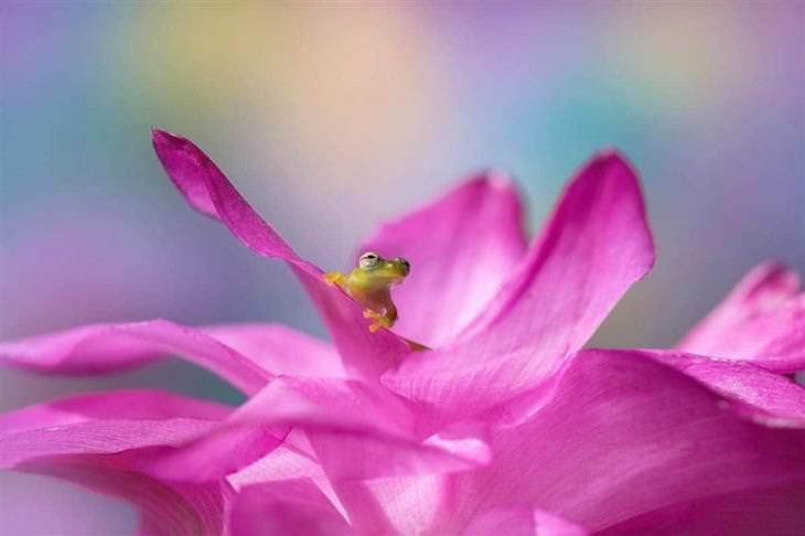 תחרות צילומי הגינה: צפרדע בתוך עלי כותרת של פרח