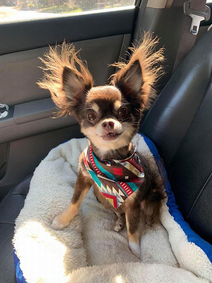 חיות חמודות ומצחיקות: כלב עם אוזניים שעירות במיוחד