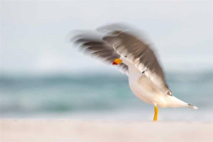 תמונות מתחרות צילום ציפורים לשנת 2020: שחף פסיפי מטושטש מזיז כנפיים