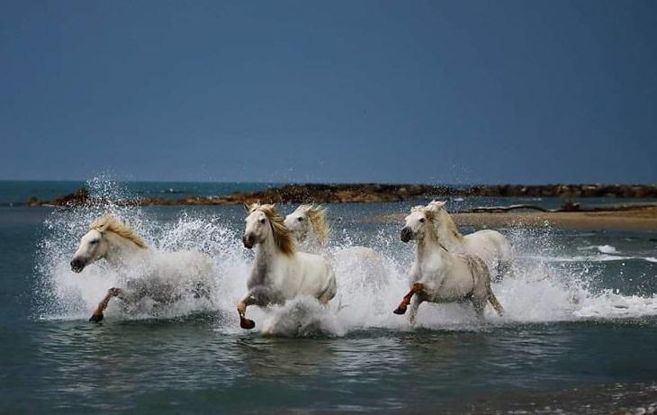 תמונות של חיות בר: סוסים לבנים דוהרים בים