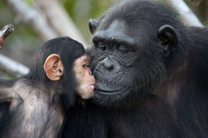 תמונות של חיות בר: אמא ובן קופים
