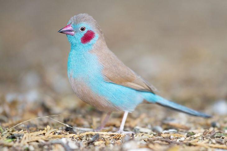 ציפורים אקזוטיות: קורדון כחול לחי אדומה