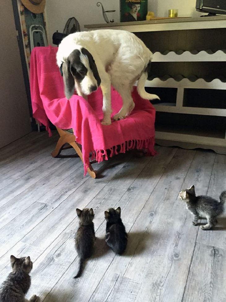 חתולים שמתעמרים בכלבים: כלב עומד על ספה מפוחד, מסתכל על חתולים שמסתכלים עליו