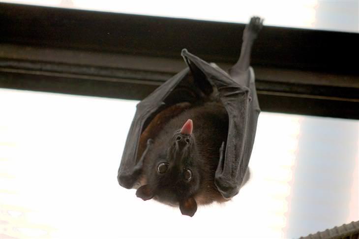 עובדות על עטלפים: עטלף מוציא לשון