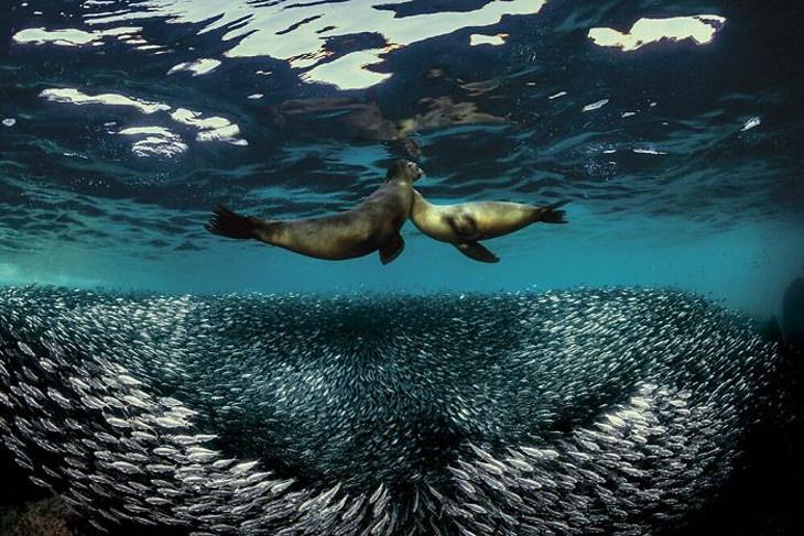 תחרות צילומי צלילה 2020: צמד כלבי ים נפגשים במים