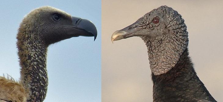 עובדות על נשרים: נשר עולם חדש (מימין) מול נשר עולם ישן (משמאל)