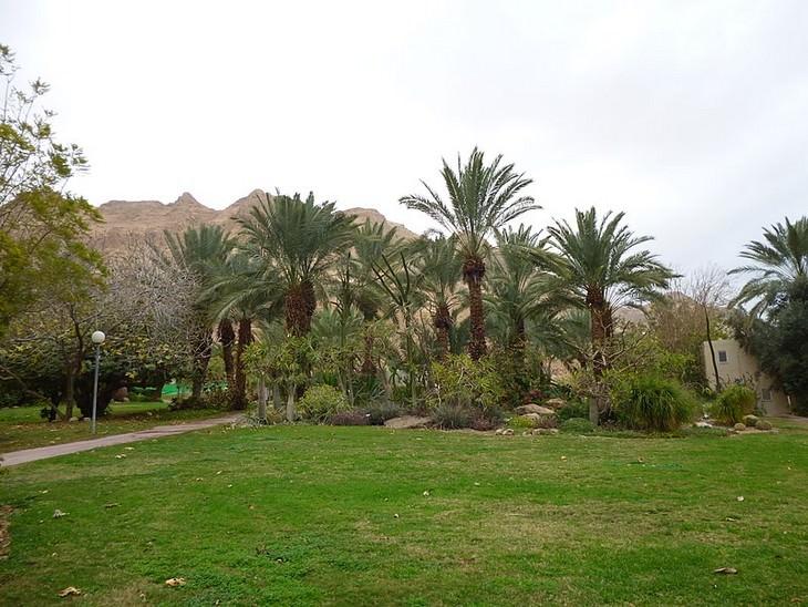 מתמודדי תחרות העץ הלאומי של ישראל: עצי דקל בקיבוץ עין גדי