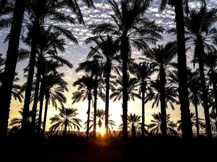 מתמודדי תחרות העץ הלאומי של ישראל: עצי דקל בבית שאן על רקע שקיעה