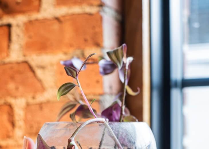 צמחים ביתיים לגידול במים:  צמח היהודי הנודד