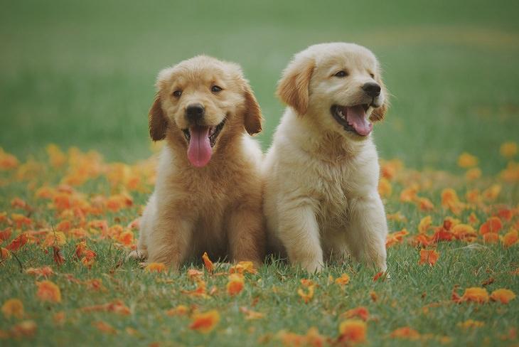 סוגי צואה של כלבים וחתולים: שני כלבים יושבים על הדשא ומוציאים לשון