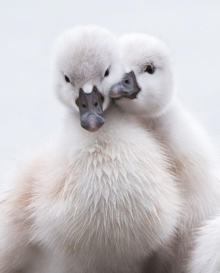 תמונות מתחרות הצילום הבינלאומית 2020: 2 תינוקות של ברבורים