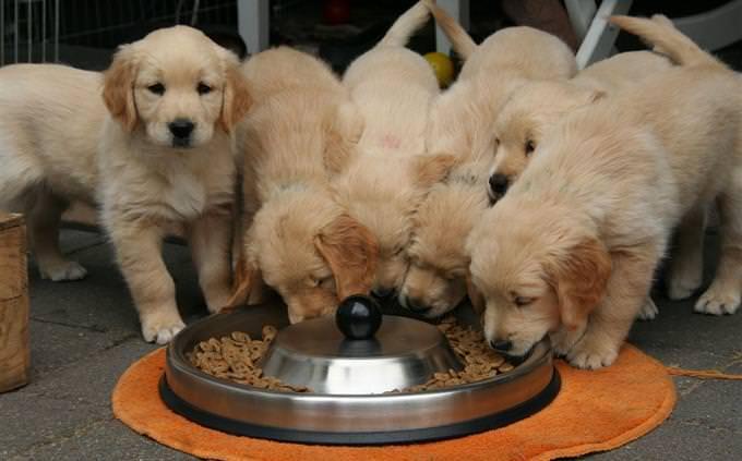 מבחן על כלבים: גורים אוכלים