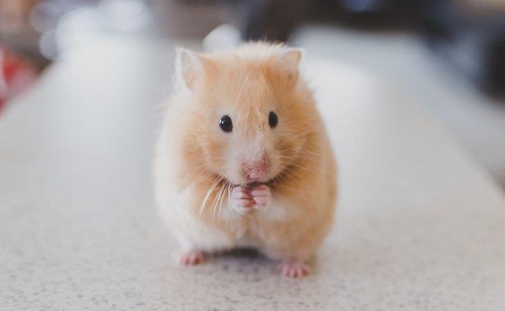 חיות מחמד שאפשר לגדל בכלוב: אוגר