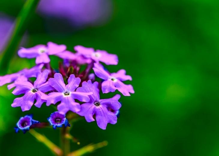 יתרונות ורבנה רפואית: צמח הוורבנה הרפואית