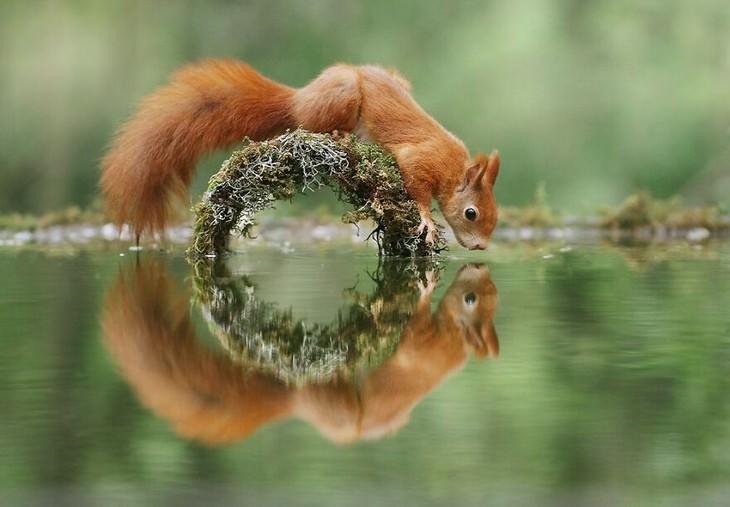 חיות קטנות וחמודות: סנאי והשתקפות במים