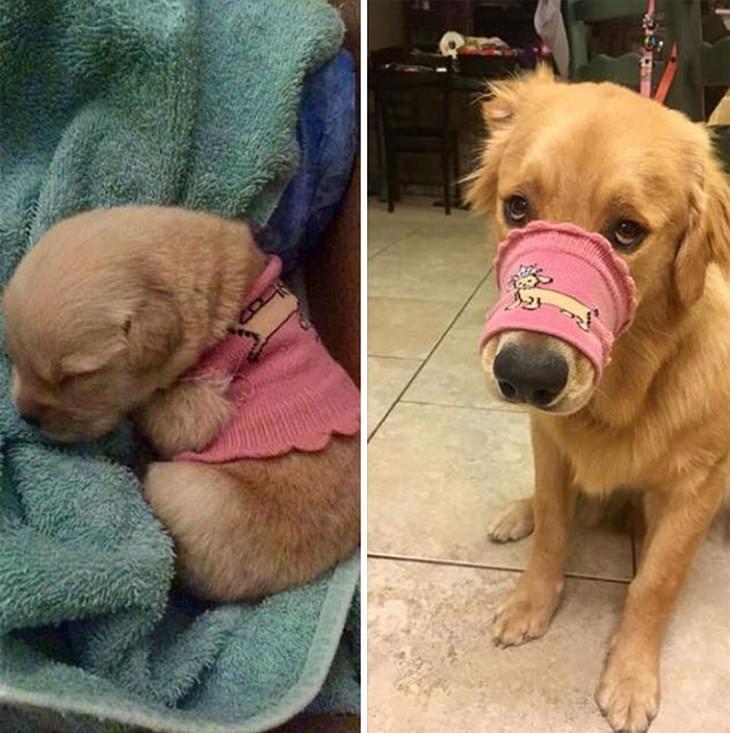 כלבים כגורים וכבוגרים: בצד שמאל גור לובש חולצה, ובצד ימין היא על האף שלו ככלב בוגר