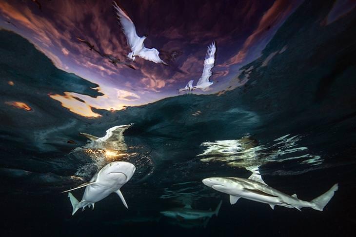 תמונות תת-ימיות מדהימות: כרישים שוחים על קו המים מתחת לציפורים בשמיים