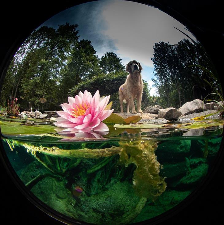 תמונות תת-ימיות מדהימות: כלב ליד בריכת חצר עם פרחים