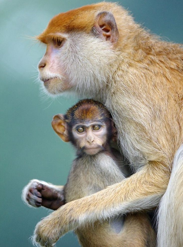 בעלי חיים מפגינים אהבה: אימא ובן קופים מחובקים