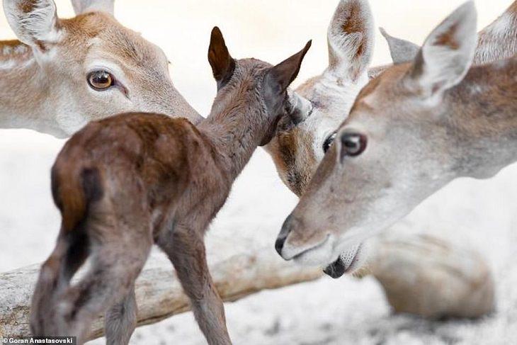 בעלי חיים מפגינים אהבה: משפחה של עופרים