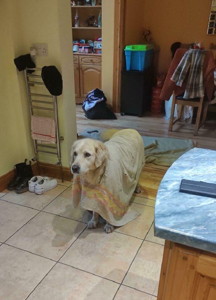חיות שנתפסו שנייה אחרי שעשו נזק: כלב עוטה על עצמו סדין עם חור גדול באמצע שדרכו הוא מוציא את הראש